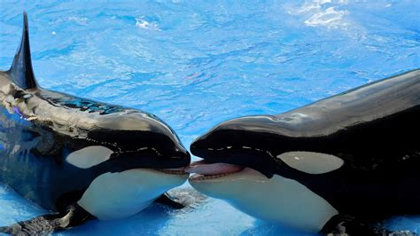 killer whale pool orca wallpapers barbaras hd wallpapers