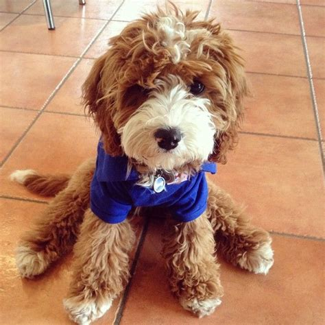 doodle puppy types 29 best yorkie poo puppies images on yorkie
