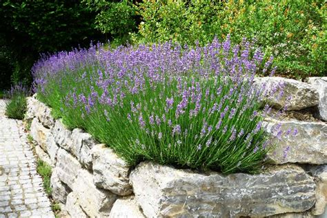 lavendel garten lavendel in reih und glied pflanzen gartentechnik de