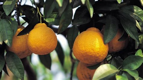 tree at home how to grow lemon trees at home with p allen smith