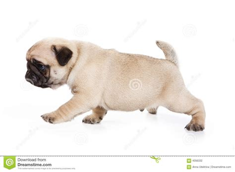pug white background pug on white background stock photography image 4056332