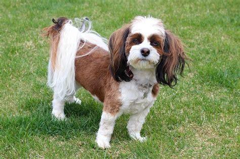 bichon shih tzu calgary 1000 ideas about zuchon puppies for sale on shih tzu breeders shih tzu