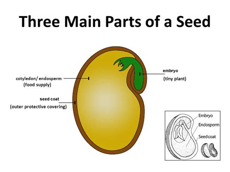 what are the three main sections of the brain parts of a seed ppt video online download