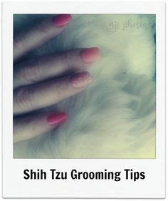 shih tzu care tips how to clean tear marks from the of a maltese and a shih tzu shih tzu maltese