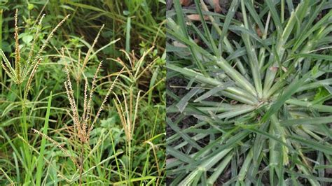 Grass Medicinal Uses by Paragis Or Goose Grass Miracle Health Benefits You