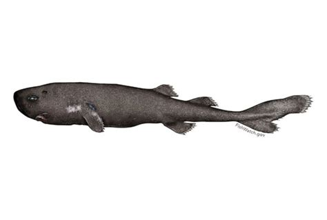 pocket shark in photos pocket shark discovered