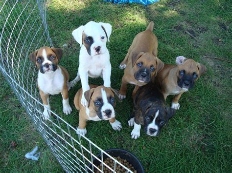 akc puppies akc boxer puppies in iowa breeds picture