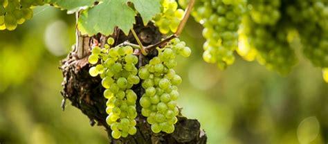 uva da tavola coltivazione uva da tavola matilde caratteristiche e coltivazione