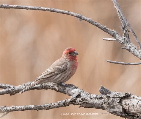 attracting house finches backyard birding feeding wild