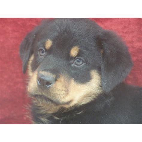 rottweiler puppies iowa puppies for sale rottweiler rottweilers rotts rotties f category in barnes