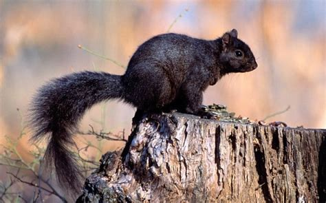 The Rise And Rise Of The Black Squirrel Caused By Black Squirrel