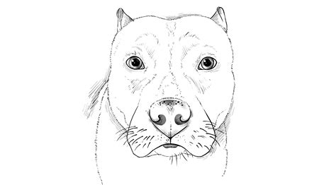 how to a pitbull pitbull dogs drawings www pixshark images galleries with a bite