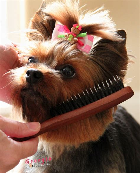 how often should a yorkie eat 16 best images about yorkies on