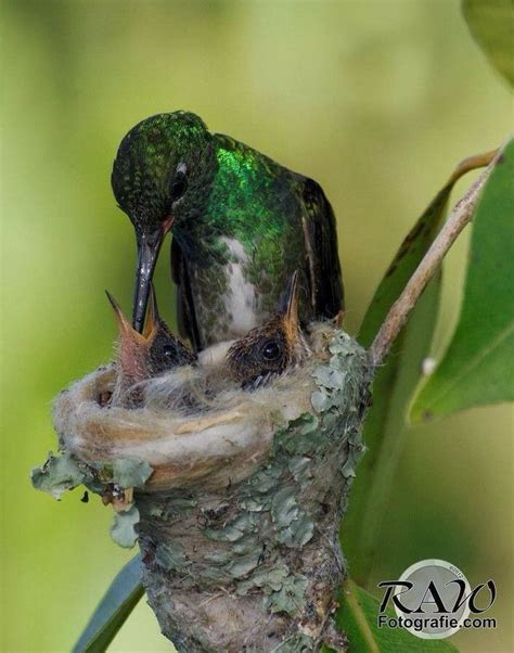 hummingbird feeding mother earth creatures pinterest