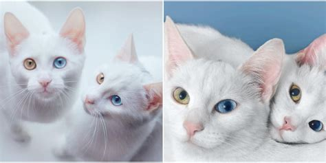 twin cats meet the most beautiful twin cats in the world