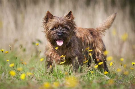 brindle cairn haircut cairn terrier dog breed 187 everything about cairn terriers