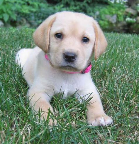 golden labrador puppies for sale sale chocolate labs for sale yellow labrador puppies black labrador breeds picture