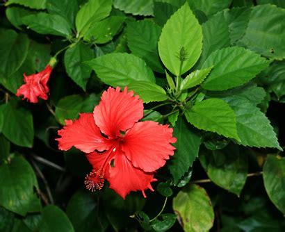 hibiscus rosa sinensis chinese hibiscus shoeblackplant