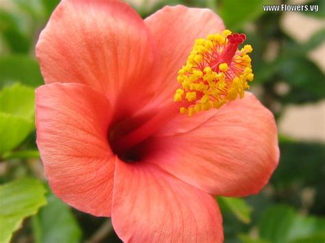 what color is hibiscus flower homes hibiscus flowers