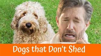 a review of the best 70 hypoallergenic dogs that don t