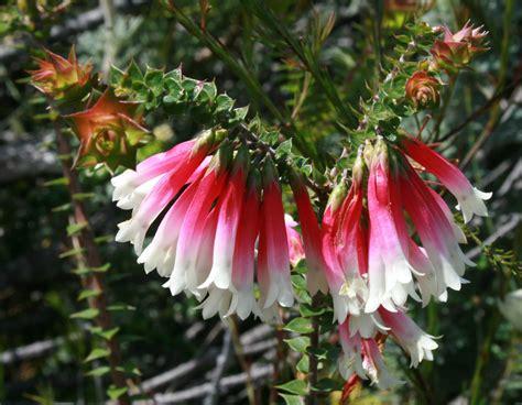 fiori australiani bush fiori australiani essenze singole benessere dal mondo