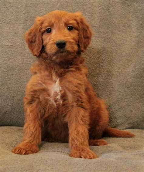 goldendoodle puppy checklist waiting list curious puppies