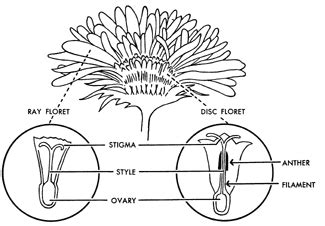 is marigold a monosexual flower or not? quora