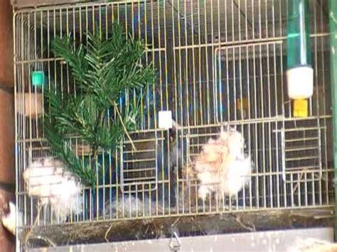 riproduzione canarini in gabbia accoppiamento cardellini cardellina violentata