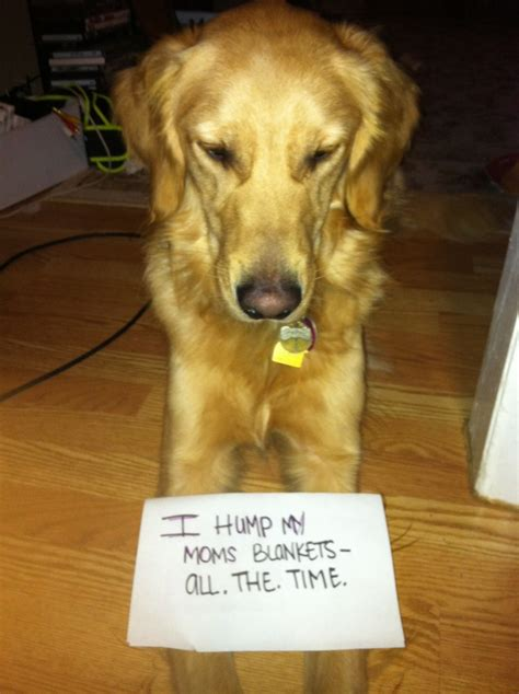 dogs that look like golden retrievers pin by on because i m a winner