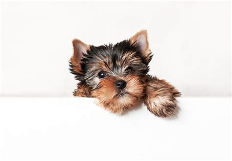 how much are teacup yorkies teacup yorkie terrier puppies www pixshark images galleries with a bite