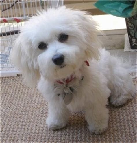 havanese vs bichon havachon breed information and pictures