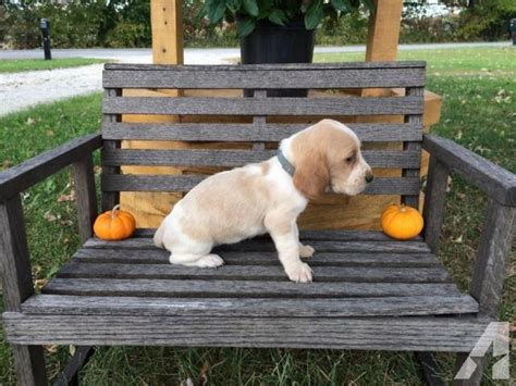 basset hound puppies for sale in indiana basset hound puppies akc for sale in batesville indiana classified americanlisted
