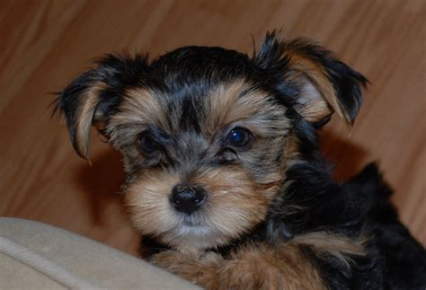 what is a shorkie puppy shorkie pics photograph shorkie puppies 8 week