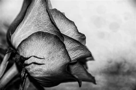 fiori bianco e nero sfondi monocromo fiori giardino rosa