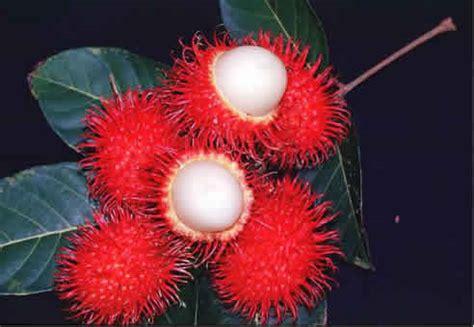 Jepit Rambut Tumbuhan Buah Buahan exaudio siregar manfaat buah rambutan