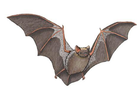 hoary color bat hoary
