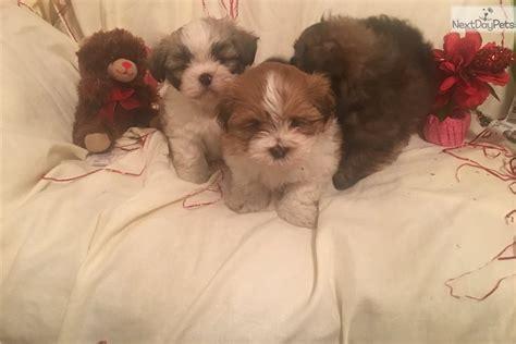 shih tzu puppies chicago shih tzu puppy for sale near chicago illinois c2a5a4bc 28e1