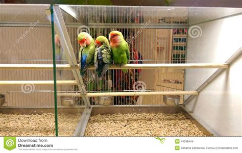 love birds in pet shop stock photo image 49098444