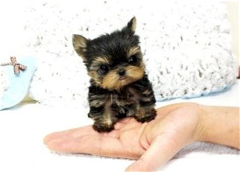 can a teacup yorkie babies dogs new york ny free classified ads