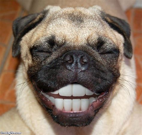 image pug happy pug pictures freaking news