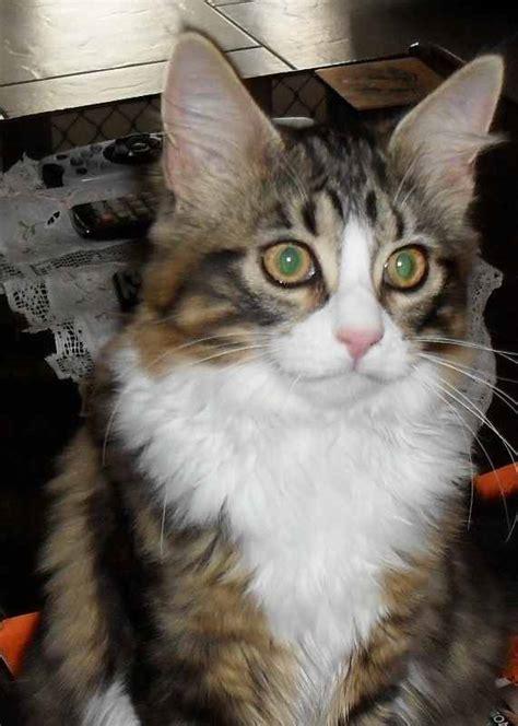 alure cattery maine coon cat breeder mandurah western