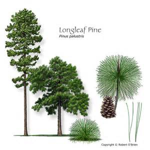 Texas State Bird Flower Tree - longleaf pine improved containerized sold out