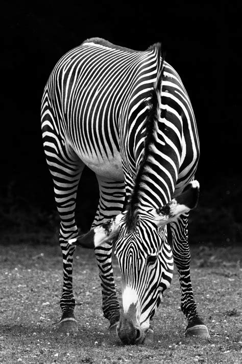 black  white zebra  stock photo public domain pictures