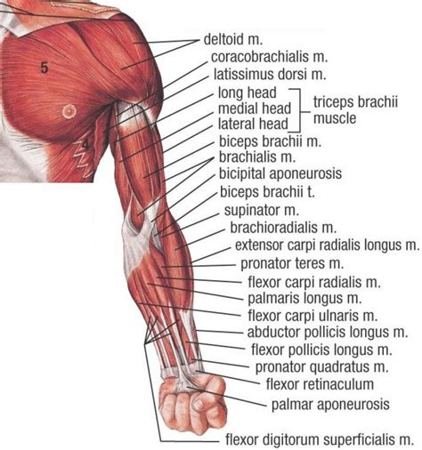 muscles diagram human arm human anatomy system