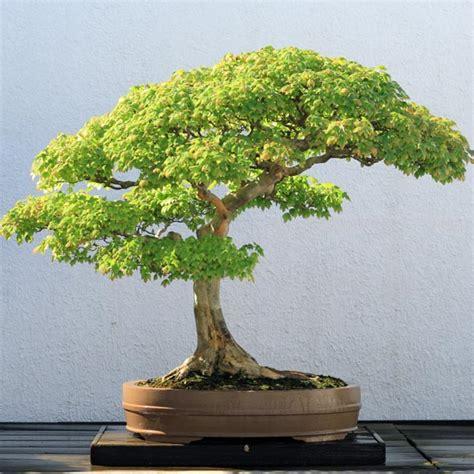 asal bonsai asal mula tanaman bonsai sebagai tanaman hias