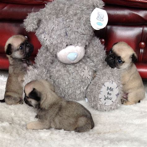best pug breeders uk adorable pug puppies investigating their teddy pugs and toys