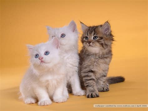 Kucing Kitten Kucing