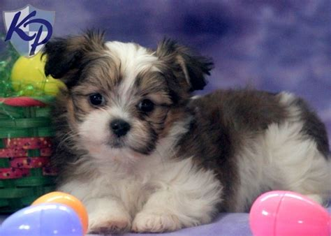 husky and shih tzu mix schnauzer yorkie mix for sale shih tzu mix puppies for sale in pa