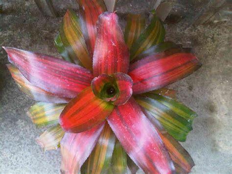 Bromelia Tanaman Hias Fall In M tanaman bromelia pagoda bibitbunga