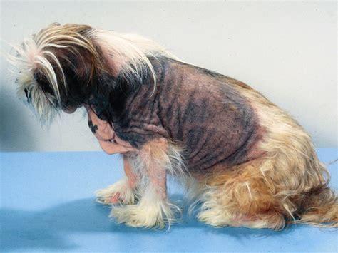 treating allergies in dogs genodermatoses genetic skin diseases northeast veterinary dermatology specialists